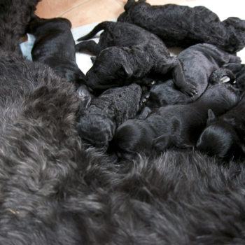 puppies-portuguese-water-dog-quebec