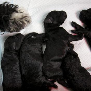 puppy-portuguese-water-dog-quebec