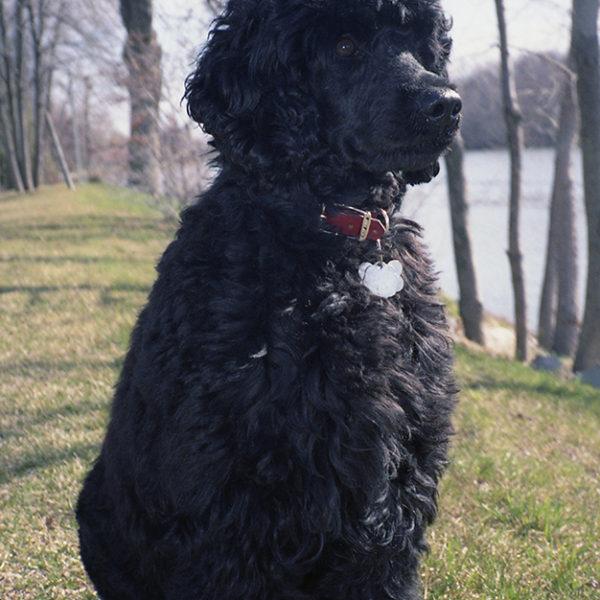 maya-breeder-portuguese-water-dog